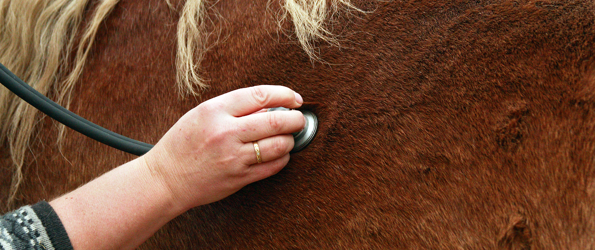 vétérinaire auscultant un cheval
